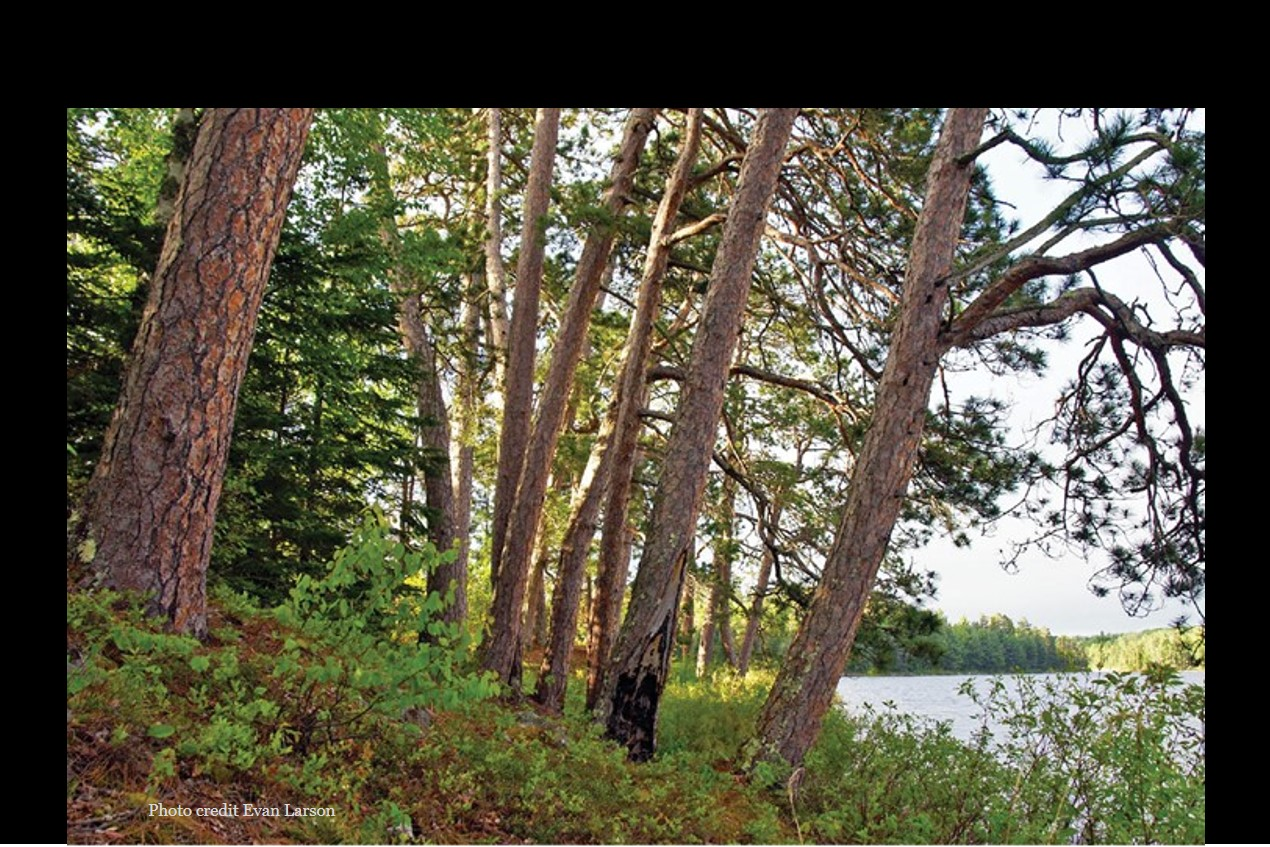 PEOPLE, FIRE, AND PINE: LINKING HUMAN AGENCY AND LANDSCAPE IN THE BOUNDARY WATERS CANOE AREA WILDERNESS AND BEYOND